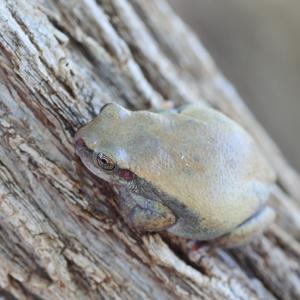 顔色悪いよ?~イエアメガエル(White's tree frog)