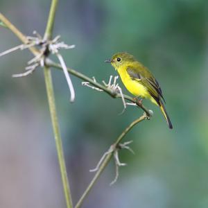 幸せの黄色い鳥~カナリアヒタキ(Citrine Canary-Flycatcher)