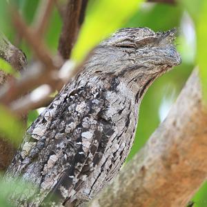 擬態名人~オーストラリアガマグチヨタカ(Tawny Frogmouth)