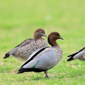 可愛い親子~タテガミガン(Maned Duck)