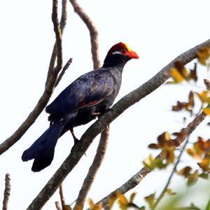 高貴な鳥~ニシムラサキエボシドリ(Violet Turaco)