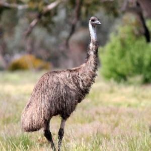 巨鳥~エミュー(Emu)