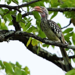 爬虫類?ミナミアカハシコサイチョウ(Southern Red-billed Hornbill)