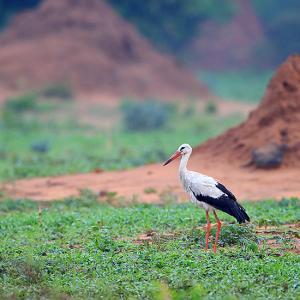 幸せの鳥~シュバシコウ(White stork)