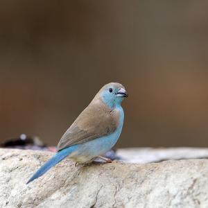 青輝鳥~フナシセイキチョウ(Blue Waxbill)