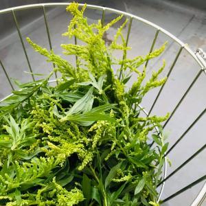 セイタカアワダチソウで作る入浴剤