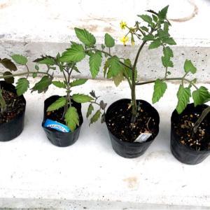 【自家採種】ミニトマトの経過