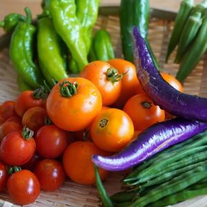 トマトが豊作