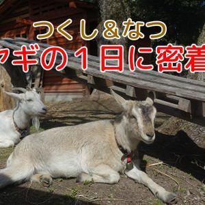 動画【ヤギ1日密着】つくし&なつ!朝から夜までヤギの日常を撮影してみました