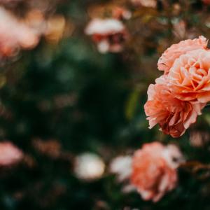 6月2日は『ローズの日』美女たちが愛した「花の女王」