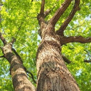 想像のアファンの森や夏木立