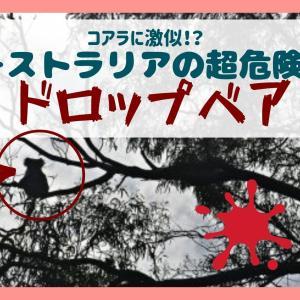 ドロップベア?オーストラリアで有名な超危険動物はコアラに激似!?