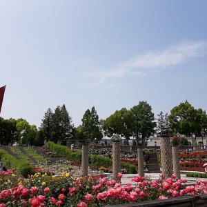 【伊丹の子連れオススメスポット】5月~6月が見頃!荒牧バラ公園はベビーカーでもスムーズに回れる!