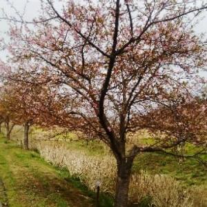 40、河津桜が