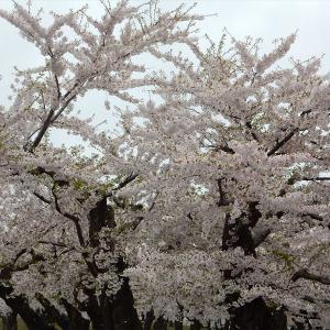 函館五稜郭公園の桜