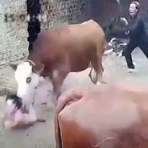 [動画0:35] 出産後の牛、人間の子供を襲う