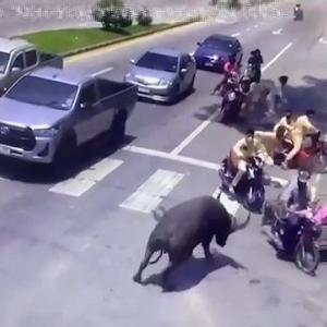 [動画0:53] タイ人、信号待ちの間に水牛に襲われる