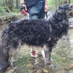 イージーウォークハーネスのおかげで息子(大型犬)が散歩で引っ張らなくなりました