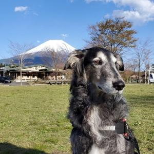 息子(大型犬)と一緒に「あさぎりフードパーク」で行われた「富士山わんわんマルシェ」に行って、「本栖湖」と「白糸の滝」も散歩してきました。
