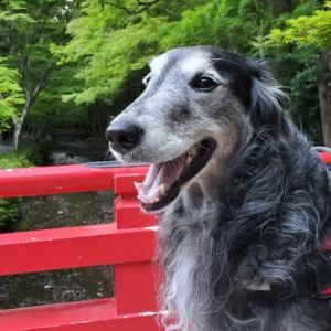 息子(大型犬)と一緒に、森町にある「小国神社」でマイナスイオンを浴びながらお散歩してきました。