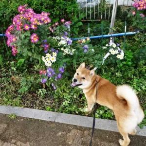 道端の菊が綺麗です♪