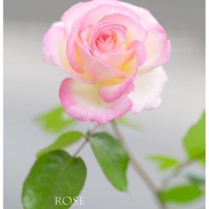 バラ 夏の花 「愛娘のように育てて♪」