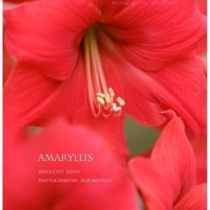 アマリリス 夏の花 「ヘビー級の赤」