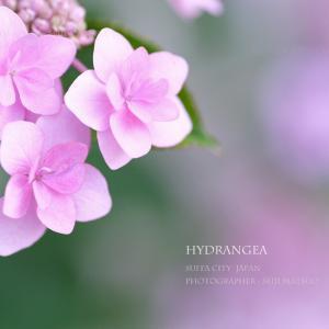 アジサイ 夏の花 「お庭にいっぱいのキラキラ星 ♪」