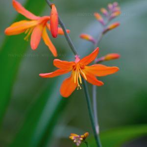 ヒメヒオウギズイセン 夏の花 「先まで咲いたその後は?」