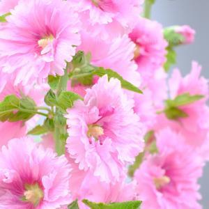 タチアオイ 夏の花 「花ドレス」