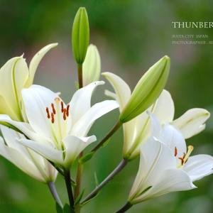 スカシユリ 夏の花 「ユリの世界のプロレスラー!」