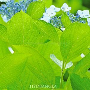 アジサイ 夏の花 「やはりエイリアンはいた!!」
