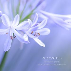 アガパンサス 夏の花 「夏の妖精たちが羽ばたき始めました♪」