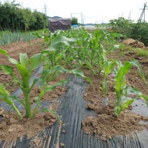 (2)野菜達が育っています!!