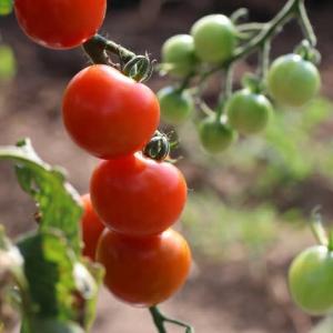 ミニトマトが育っていた!!