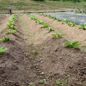 ②白菜が育っている!!