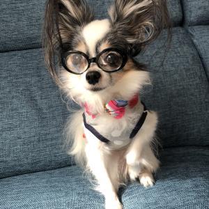 くぅちゃまはサングラスがお好き?!ダイソーでペット用のサングラス買ってみた