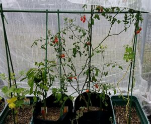 プランター菜園~9月の記録:寒暖差と夏野菜栽培終了