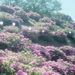 椎宮八幡神社・椎宮公園のつつじを撮ってみた