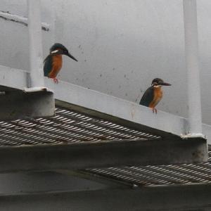 増水した鴨川の鳥たち、その後