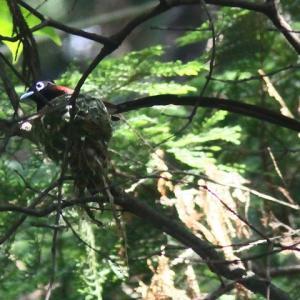 サンコウチョウの営巣