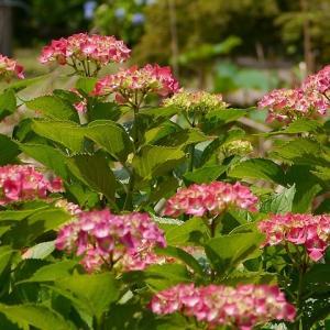 四季彩の丘とあじさい園 ~植物園の花