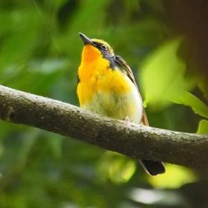 幸福の黄色い小鳥