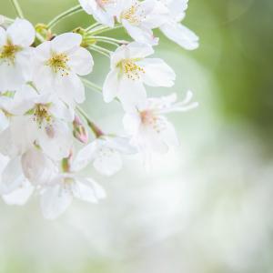今年は桜を堪能できるかな?日本一の桜の名所【吉野の山】