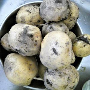 家庭菜園のジャガイモは気を付けて!