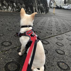 【ハナ*うちに来て29日目】今日もお散歩練習