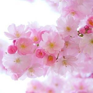 クラランス(CLARINS)の春コスメ♡桜モチーフが可愛すぎる