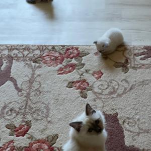 今朝の子猫達 in 子猫部屋 仲良しニャン
