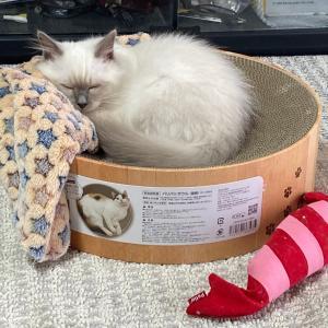 里親通信 ちっちゃい子猫のお写真と伯父さん兄弟の近況 届きました