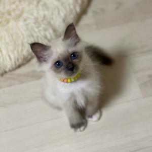 今夜の子猫達 in 子猫部屋 ヤンチャになってきたニャン